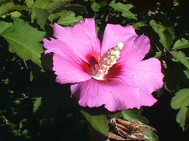 Сирийская роза, или Кетмия.